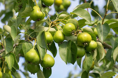 Green fresh pears Royalty Free Stock Photography