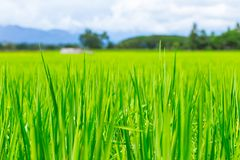 Green fresh rice field in countryside landscape stock image