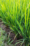 Green fresh rice fields Royalty Free Stock Image