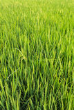 Green fresh rice fields Royalty Free Stock Photo