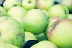 Green fresh ripe bulk apples. In a pile in the autumn garden stock image