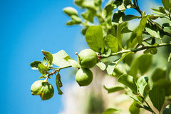 Green Fresh ripe lime on tree. Nature background stock image