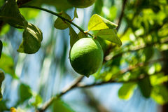 Green Fresh ripe lime on tree. Nature background stock images