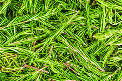 Green fresh rosemary Stock Photography