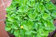 Green fresh salad in a pot close-up stock photos