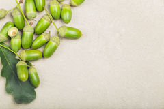 Green fresh shiny acorns on with oak leaf Royalty Free Stock Photos