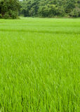 Green fresh spring rice field.  Royalty Free Stock Image