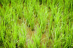 Green fresh spring rice field.  Stock Photography