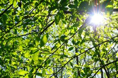 Green fresh spring tree leafs with sun. Royalty Free Stock Photography