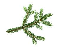 Green fresh spruce tree branch isolated on white background.