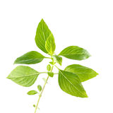 Green fresh sweet basil leafs isolated on white background Royalty Free Stock Photos