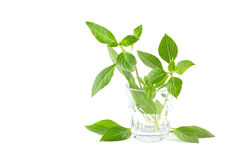 Green fresh sweet basil leafs in tiny glass isolated on white background Royalty Free Stock Photos