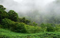 Green fresh tea farm with mist Stock Photo