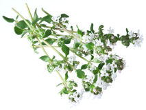 Green fresh thyme with flowers on a white. Royalty Free Stock Photo