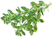 Green fresh thyme on white. Stock Images