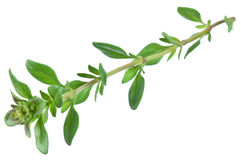 Green fresh thyme. Stock Photography