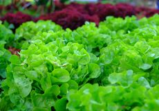 Green fresh vegetables Royalty Free Stock Photos