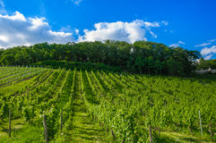 Green fresh vineyard near Ruedesheim, Rheinland. Green fresh vineyard near Ruedesheim in Rheinland-Pfalz, Germany Royalty Free Stock Photos