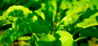 Green fresh wet salad in morning sun royalty free stock image