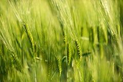 Green fresh wheat closeup photo Stock Photo