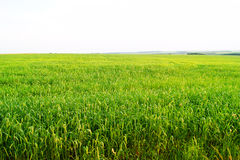 Green fresh wheat plantation with big Royalty Free Stock Photography