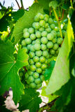 Green and fresh wine grape royalty free stock photo
