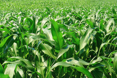 Green fresh young corn field - Agriculture Stock Image