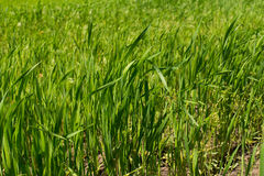 Green fresh young wheat close up. In the field Stock Images
