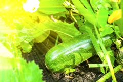 Green fresh zucchini, zucchini ready for harvest. Growing organic vegetables on the farm.