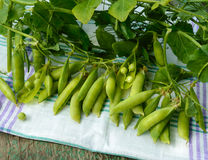 Green freshly picked pea pods and stems Royalty Free Stock Image