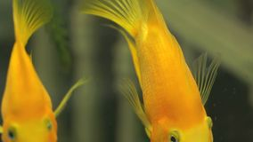Green freshwater aquarium with golden fishes stock video footage
