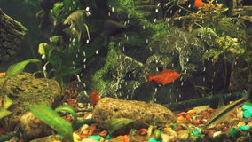 Green freshwater aquarium with small fishes stock video