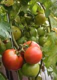 Green Fried Tomatos. Tomatos on the Vine Ready to Eat or Fresh Salad Stock Photography