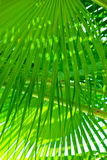 Green fringe palm leaves. The color green displayed through the fringe of palm tree leaves stock photography