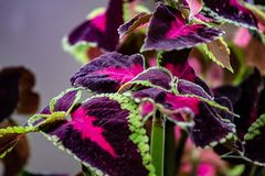 A green fringed purple and red leafed tropical plant. stock photos