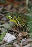 Green frog. (Rana clamitans melanota), Connetquot River State Park, Long Island, New York royalty free stock images