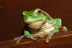 Green Frog. Sitting on a bench royalty free stock photo