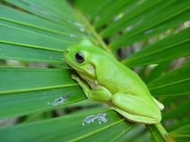 Green frog. Frog sitting on an leaf Royalty Free Stock Photos