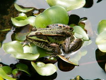 Green frog. In the water with leafs Stock Photography