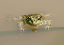 Green frog Royalty Free Stock Photography