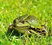 Green frog. Pelophylax esculentus hiding in green royalty free stock photos