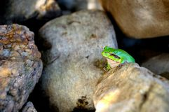 Green frog. Sitting on stones Royalty Free Stock Photo