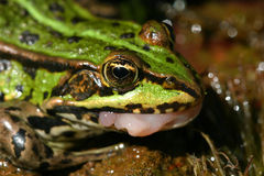 Green frog. Who has just swallowed a fly Stock Photo
