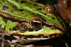 Green frog. Closeup of a green frog Royalty Free Stock Photos