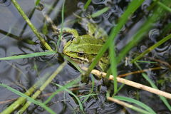 Green frog. Beautiful Nature scene, green frog in the water Stock Photography