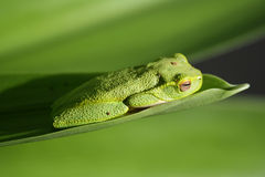 Green frog. Sleeping on a leaf Royalty Free Stock Photos