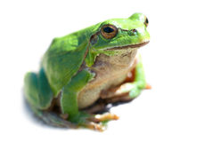 Green frog Royalty Free Stock Images