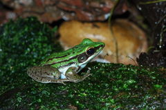 Green Frog. Common Greenback (Rana erythraea) This frog has a distinctive white band that runs along each side of its body. It inhabits grasslands and Royalty Free Stock Photo
