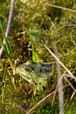 Green frog. The picture shows a green frog stock photo