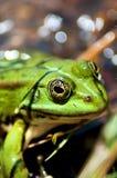 Green frog Royalty Free Stock Photos